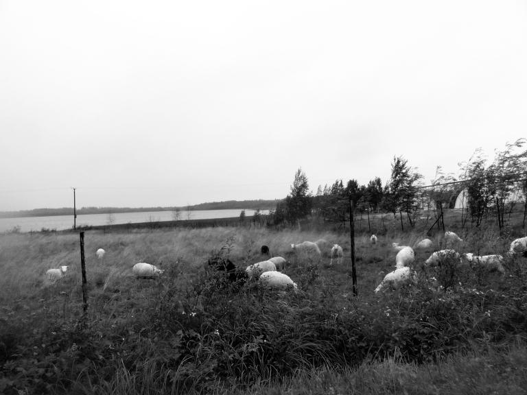 sheepindreamland